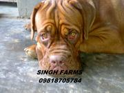BULL MASTIFF & FRENCH MASTIFF PUPS FOR SALE. IMPORT PARENTAGE.PAPERS.