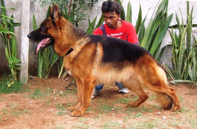 Top Quality German Shepherd Rottweiler Kerala Dogs For Sale