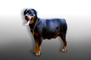 Rottweiler puppies with KCI Registration