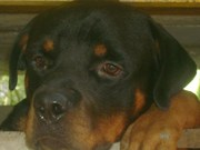 ONE YER OLD GOOD QUALITY ROTTWEILER MALE KCI CERTIFIED FOR SALE