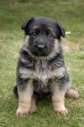 German Shepherd PUPPIES FOR SAIL.....9645380002