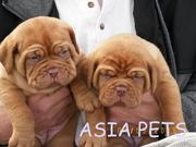 French Mustiff   Puppies  For Sale  ® 9911293906