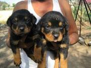 Rottweiler pupes....mob:809038006