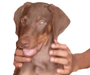 DOBERMAN PUPPY'S WITH IKC CERTIFICATE