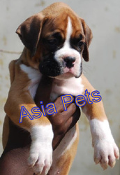 BOXER  PUPPIES  FOR SALE   9555944924