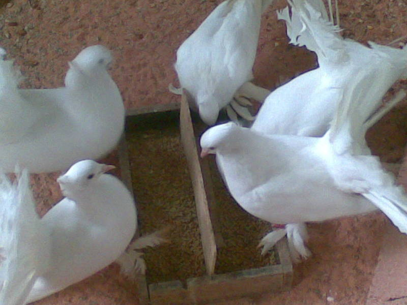 800x600 fantail and ordinary pigeon for sale birds for sale