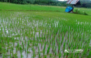 2 acre 10cent paddy field for sale in kenichira.wayanad