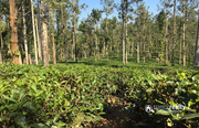 Tea plantation for sale near Meppadi.