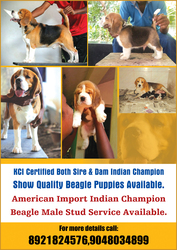 KCI Regd Both Father & Mother Indian Champion Show Quality Beagle Pupp