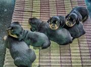dash puppy