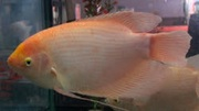 White Giant Gourami