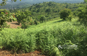 Excellent 41 cent land in Korome @ 14 lakh. Wayanad