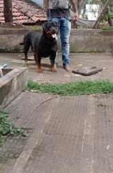 Rottweiler female for sale