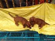 Daschund Pet Male and Female