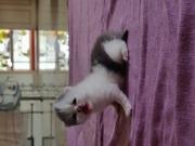 Persian Cat kittens Doll Face